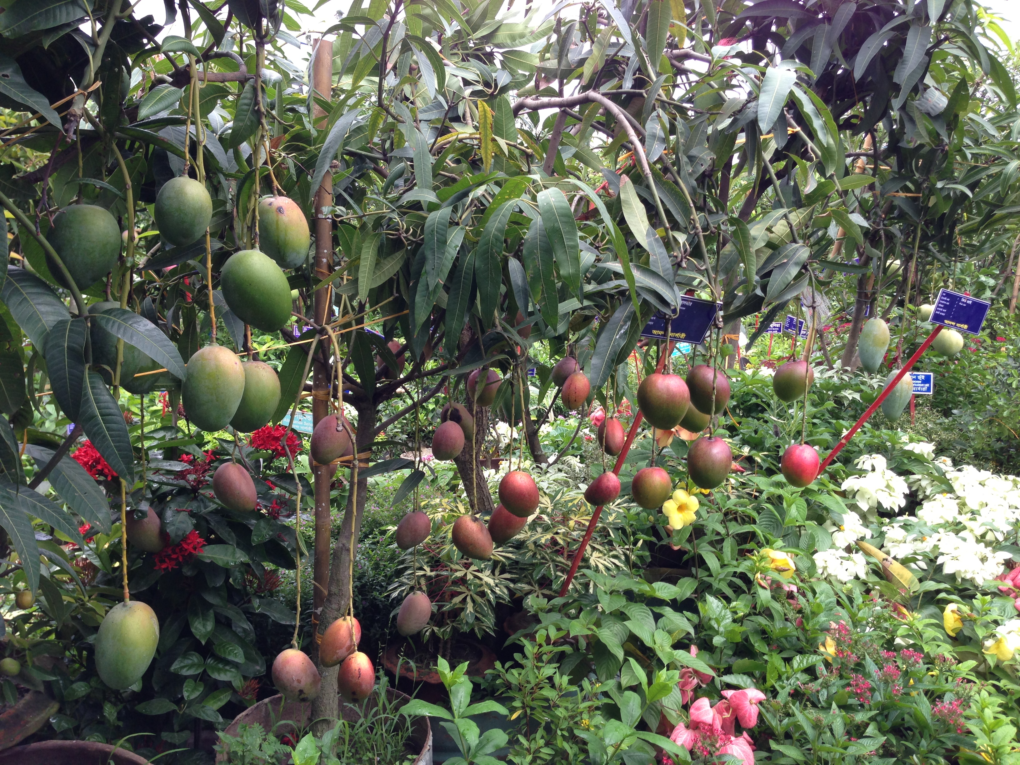 Mango Tree Disease